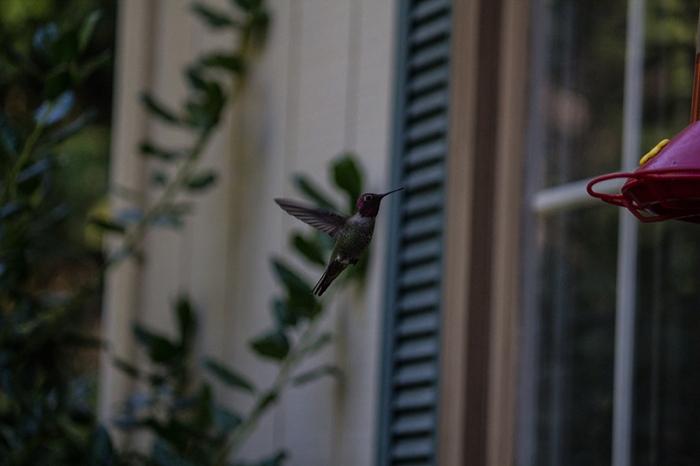 hummingbird7sm